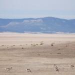Antilopen-Herde in der Prärie New Mexicos