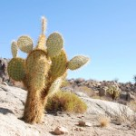 Kakteen im Joshua Tree Nationalpark