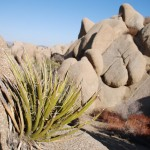 Joshua Tree am Felsen